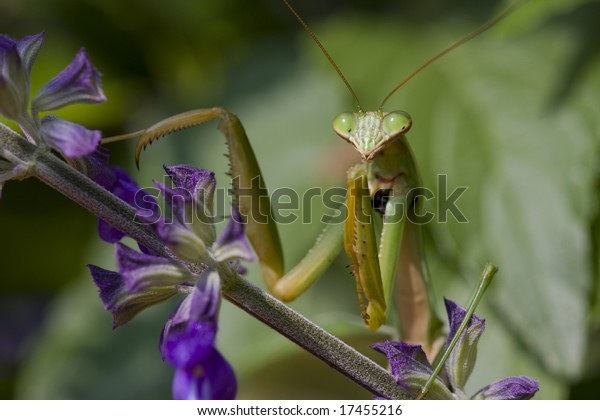 Praying Mantis, Chinese Mantis (Tenodera aridifolia sinensis) on purple flowers