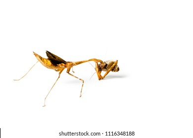 Praying mantis and cockroach isolated on white background. Predator and victim concept.