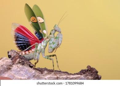 A praying mantis (Creobroter gemmatus) is developing beautiful wings.