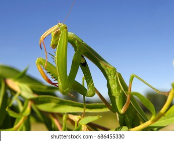 Praying mantis, European mantis (Mantis religiosa)