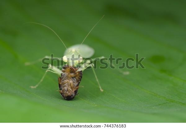 Praying Mantis Feeding On Roach Tropidomantis Stock Photo Edit Now 744376183