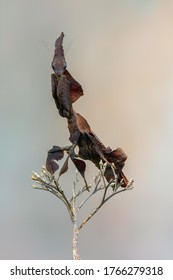 a praying mantis - ghost mantis - Phyllocrania paradoxa
