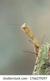 a praying mantis - Hierodula membranacea