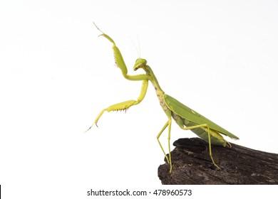Praying mantis insect dancing white background