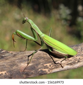 Praying Mantis insect in nature  as a symbol of green natural extermination and pest control with a predator that hunts and eats other insects as an icon of entomology biology education.