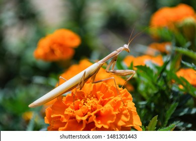 Praying Mantis Insect on a flower in the garden. Light mantis, sitting on Marigold petals. Mantis close up.