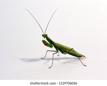 Praying Mantis Isolated