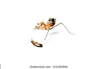 Praying mantis isolated on white background. Predator and victim concept.