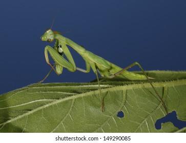 Praying mantis is lurking beetle on green leaf