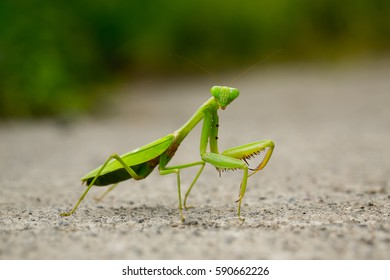 Praying mantis macro