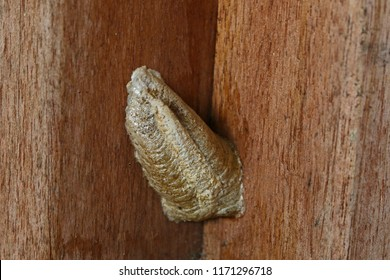 Praying mantis or mantid egg nest or ootheca plural oothecae very close up Latin name mantis religiosa laid on a wooden beam in autumn in Italy
