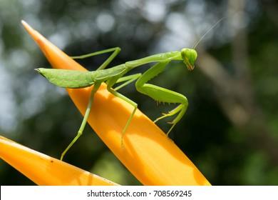 Praying Mantis on orange flower with green leafy bokeh background.