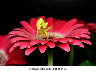 Praying mantis on pink daisy/eating