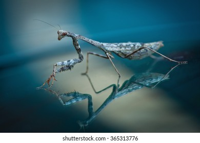 praying mantis on reflective surface