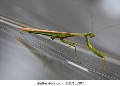 Praying mantis on solar panels on a cloudy day. Mantises are an order (Mantodea) of insects that contains over 2,400 species. They have triangular heads with bulging eyes supported on flexible necks.
