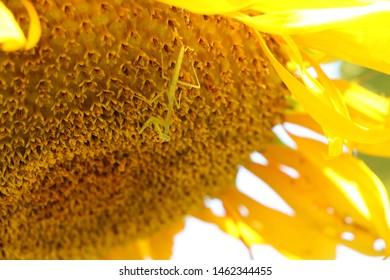 Praying Mantis on Summer Sunflower