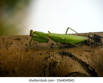 Praying Mantis on Tree Waiting for Prey