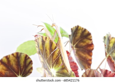 Praying Mantis on white background.
