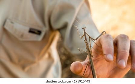 Praying mantis reaching out on game rangers hand