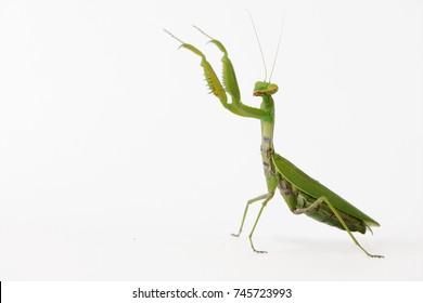 Praying mantis (Mantis religiosa) isolated on white.