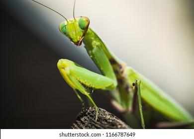 Praying Mantis or Mantis Religiosa (Mantidae)