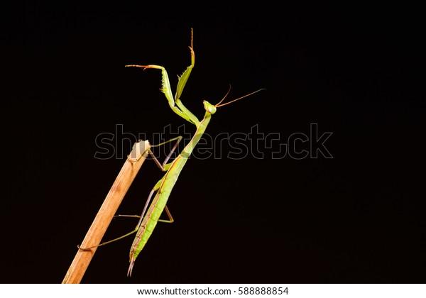 Praying mantis (Mantis religiosa) on black background