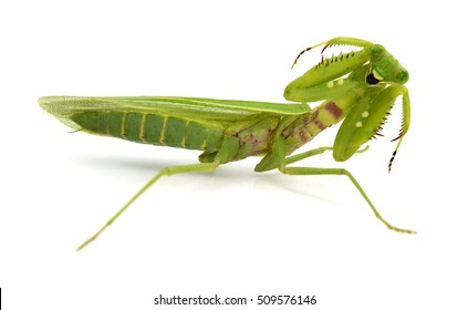 Praying mantis (Mantis religiosa) on white background
