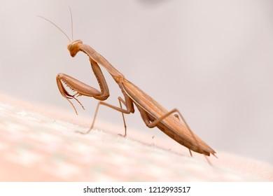 praying mantis side view, brown praying mantis,