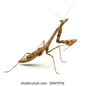 Brown Praying Mantis Images Stock Photos Vectors Shutterstock