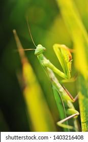 Praying mantis Stagmomantis sp on grass background