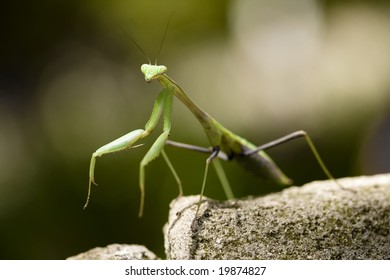 A praying mantis standing on a rock.