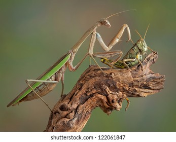 A praying mantis is touching a large grasshopper on his back.