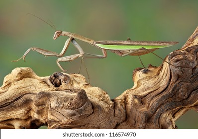 A praying mantis is walking on a dead branch.