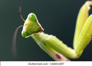 Praying mantis:Mantises are an order (Mantodea) of insects  Mantises are distributed worldwide in temperate and tropical habitats.