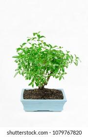pre bonsai, potted serissa foetida