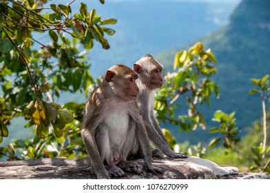 PREAH VIHEAR, CAMBODIA - CIRCA NOV 2015 : a couple of macaque monkey  on the road that goes up towards the Preah Vihear temple