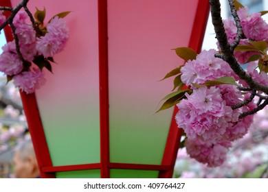 precious cherry blossoms (sakura) at Japan Mint