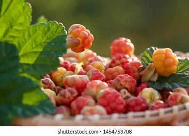 Precious cloudberries picked in a wicker basket. Season: Summer. Location: Western Siberian taiga.