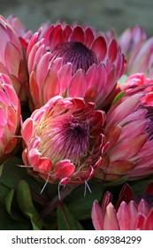 Precious national flower of south Africa