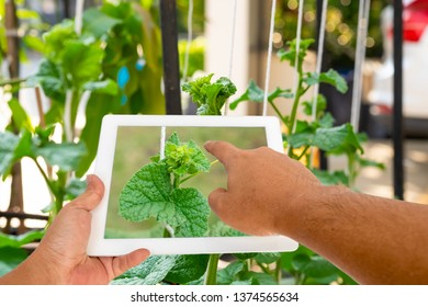 Precision agriculture technology, Application for plants nutrients deficiencies and diseases diagnosis. Hand holding tablet with plants picture on screen to checking plant symtoms.