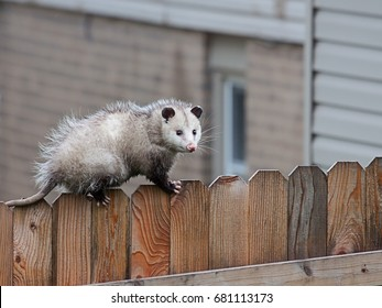 With precision balance, a opossum uses it sharp claws and spiny tail to navigate the top of a picket fence.