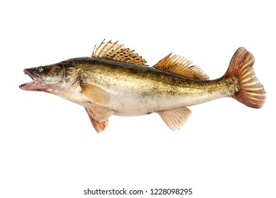 Predator Fish. Fresh Zander or Pike Perch Fish, isolated on a white background. Close-up.