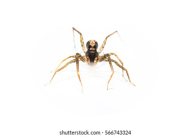 predator spider jumpingb animal closeup front view macro isolated