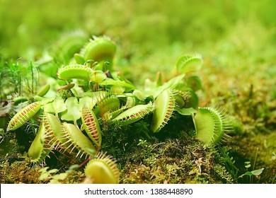 Predator Venus Flytrap Plant. Leaves of venus flytrap. Bright exotic carnivorous plant, eating insect. Venus flytrap (Dionaea muscipula) is carnivorous plant native to subtropical wetlands. soft focus