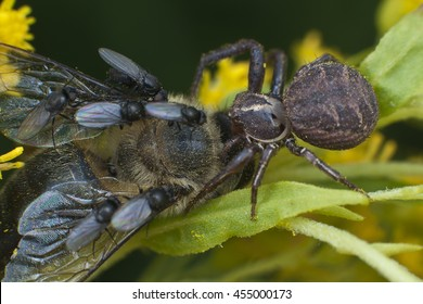 Predator and victim - spider and flies