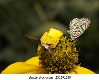 Predator :Yellow Crab Spider as Predator