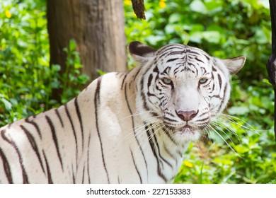 Predators, tigers