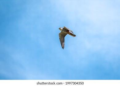 Predatory bird Eurasian Hobby or Falco subbuteo flies in blue sky. The Eurasian hobby , Falco subbuteo, or just simply hobby, is a small, slim falcon