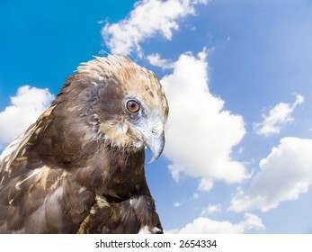 Predatory bird on a background of the blue cloudy sky