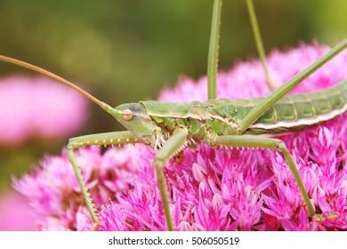 "Predatory bush cricket (Saga pedo) on the blooming cultivar orpine (Hylotelephium telephium ""Herbstfreude"") in the autumn garden"